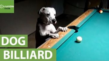 Biliárdozó kutya